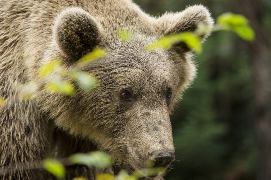 Urșii agresivi ar putea fi împușcați în 24 de ore