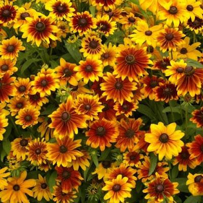 Rudbeckia, o floare spectaculoasă şi uşor de îngrijit