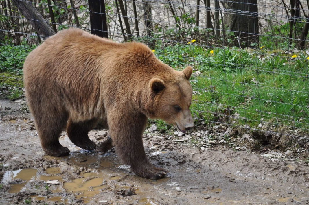 Copil de 8 ani, atacat de un urs