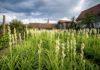 Tuberoza de Hoghilag, prima floare din România protejată la nivel european