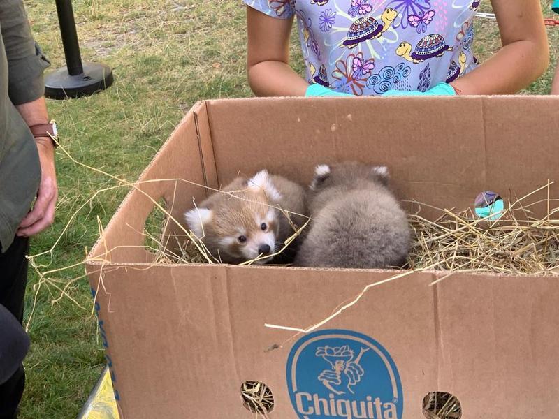 Premieră în România: La Grădina Zoologică din Brașov s-au născut doi pui de panda roșu